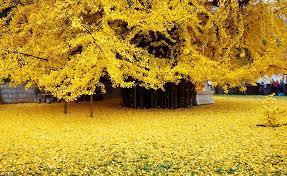 Ginko Ağacı